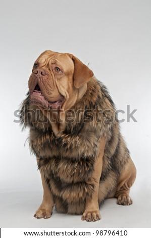 Wrinkled dog wearing raccoon fur coat - stock photo
