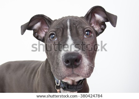 Wrinkled pit bull terrier puppy dog portrait isolated cute sad - stock photo