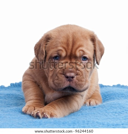 Wrinkled puppy on the carpet isolated - stock photo