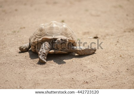 Wrinkled skin African Spurred Tortoise moving across the dirt. - stock photo