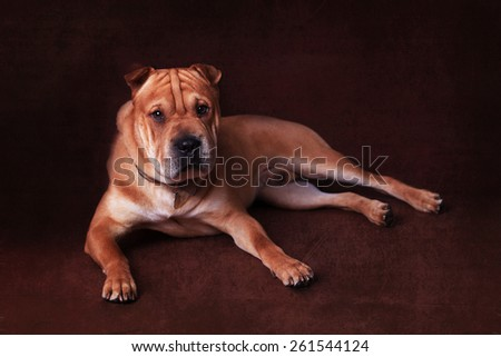 Wrinkly faced pale brown mongrel dog laying down on dark backdrop  - stock photo