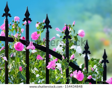 Wrought iron fence with annual mallow flowers. Clipping path included. - stock photo