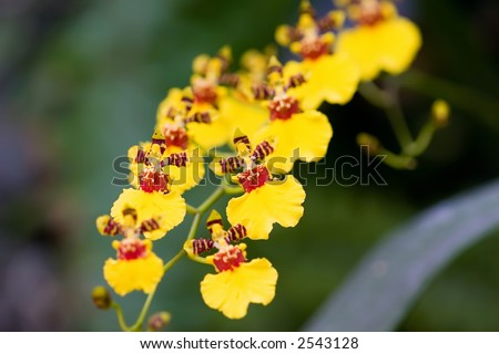 HOA GIEO TỨ TUYỆT 2 - Page 27 Stock-photo-wydler-s-dancing-lady-orchid-oncidium-altissimum-2543128