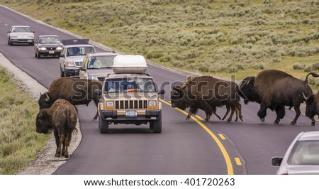 WYOMING, USA - AUGUST 2, 2004: Bison herd crosses the road and stops traffic in Yellowstone National Park.