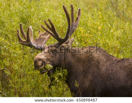 WYOMING, USA - AUGUST 14, 2007: Bull moose, Alces alces, near Oxbow Bend  in Grand Teton National Park