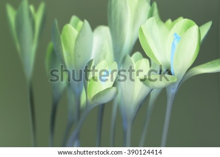 x-ray crocus on white background