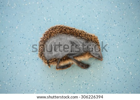 X-ray of a hedgehog - stock photo