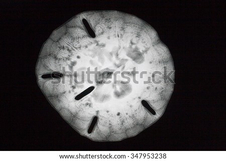 X-ray of a sand dollar - stock photo