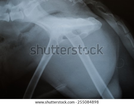 x ray of  dog pelvic,lateral side - stock photo