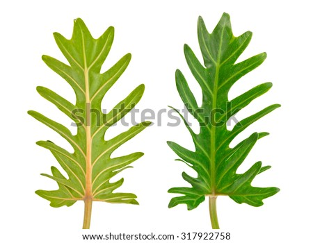 xanadu leaves back front texture isolated in white background - stock photo