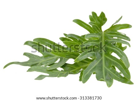 xanadu leaves isolated in white background - stock photo