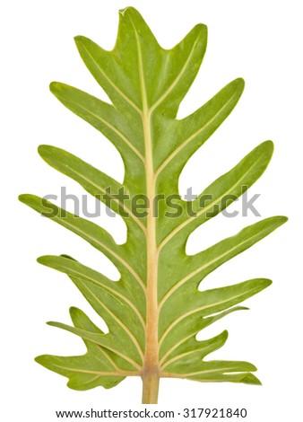 xanadu leaves texture stem in white background - stock photo