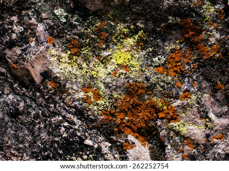 Xanthoria parietina lichen  - stock photo