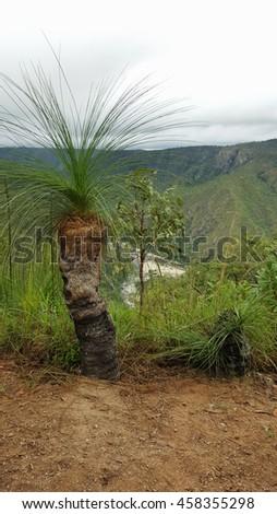 Xanthorrhoea or grass tree endemic to Australia - stock photo