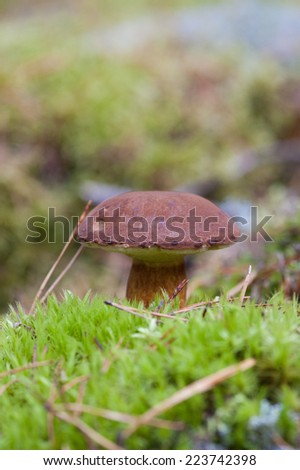 Xerocmus badius mushroom growing in the natural environment