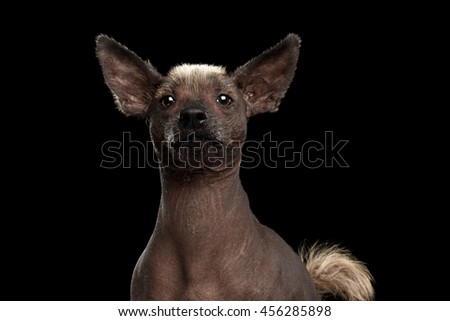 Xoloitzcuintle - hairless mexican dog breed, Studio Close-up portrait on Isolated Black background, Front view, Curious Looks - stock photo