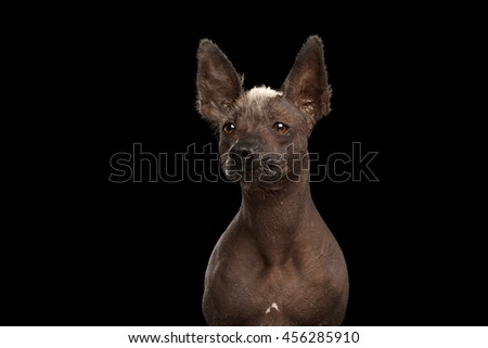 Xoloitzcuintle - hairless mexican dog breed, Studio Close-up portrait on Isolated Black background, Front view, Looks with Alert - stock photo