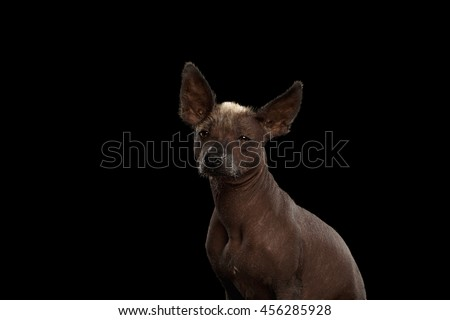 Xoloitzcuintle - hairless mexican dog breed, Studio portrait on Isolated Black background - stock photo