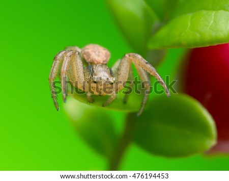 Xysticus crab spider on cowberry leaf