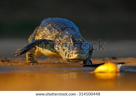 Yacare Caiman, crocodile hunting fish piranha with evening sun in the river, Pantanal, Bolivia - stock photo