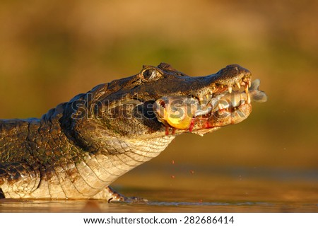 Yacare Caiman, crocodile with piranha fish in with evening sun, Pantanal, Brazil - stock photo