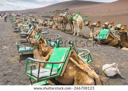 YAIZA, SPAIN - OCT 16: Camels in Timanfaya National Park wait for tourists on October 16, 2014 in Yaiza, Lanzarote (Spain)