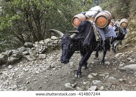 Yak - Beast of burden in the Himalayas - stock photo