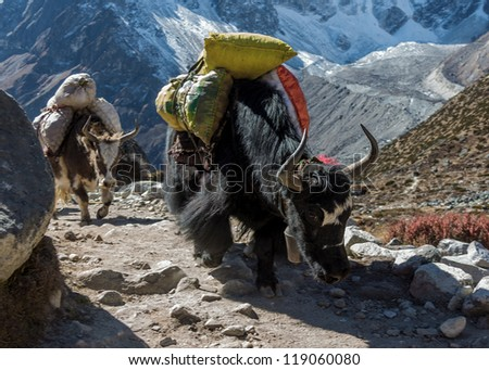 Yak caravan near Dusa - Everest region, Nepal - stock photo
