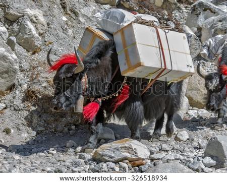 Yak caravan near Dusa village - Everest region, Nepal, Himalayas - stock photo