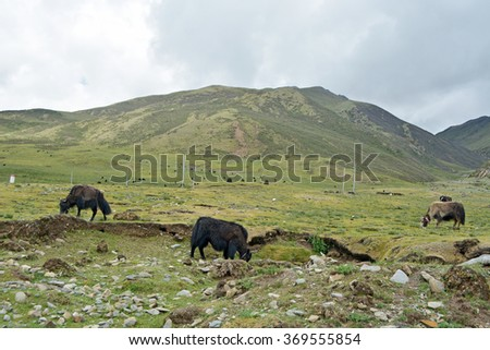 Yak cattle in green land