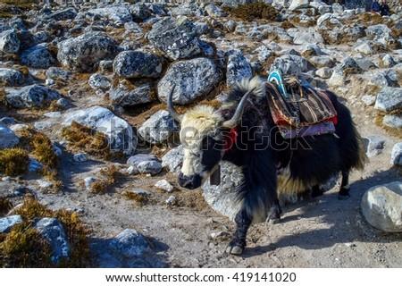Yak in Himalayan mountains, Nepal - stock photo