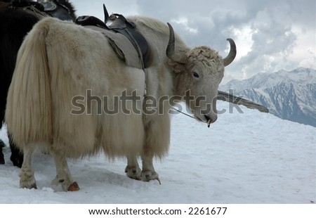 Yak in Himalayas with high snow peaks around. Indian Tibet. - stock photo