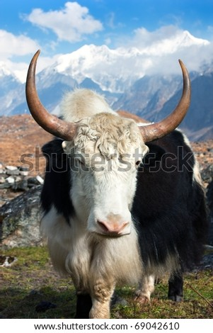 Yak in Langtang valley with Langshisha Ri mout - Nepal - stock photo