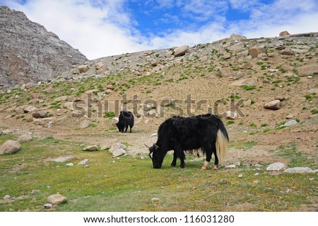 Yak in the valley of Ladakh, India