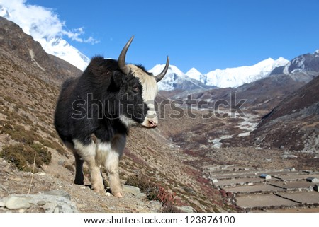 Yak on a trail in Nepal with himalaya mountains on background