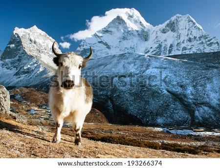 yak on pasture and ama dablam peak  - way to Everest base camp - Nepal - stock photo