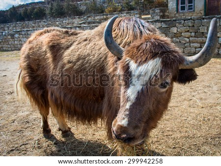 Yak on the trail  in Nepal  - stock photo