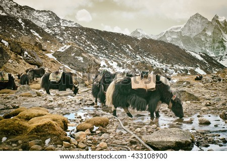 Yak on the trail near Everest Base Camp in Nepal  - stock photo