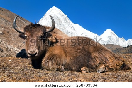 Yak on the way to Everest base camp and mount Pumo ri - Nepal - stock photo