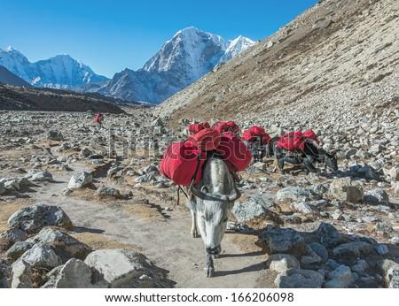 Yaks caravan on the trek at the foot of mount Everest (8848 m) near Lobuche village - Nepal, Himalayas - stock photo