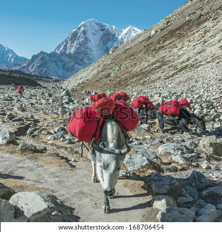 Yaks caravan on the trek at the foot of mount Everest near Lobuche village - Nepal, Himalayas - stock photo
