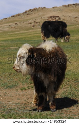 Yaks in Central Mongolia