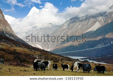 Yaks in Langtang valley with Langshisha Ri mout - Nepal - stock photo