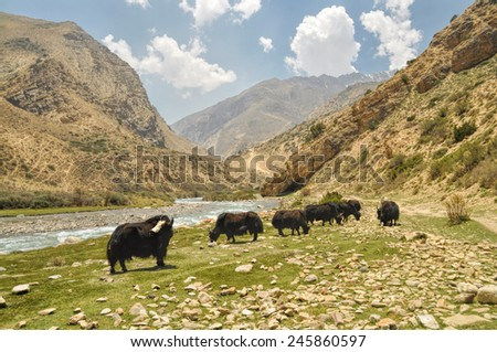 Yaks in scenic valley in Himalayas mountains in Nepal