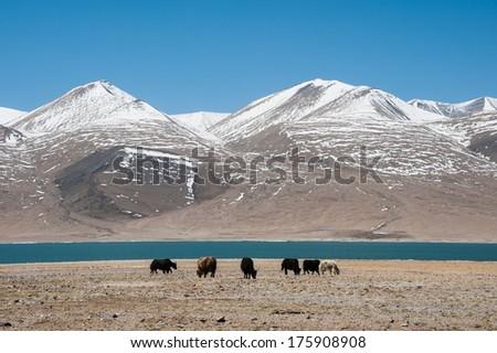Yaks in Tibetan plateau, with Himalaya mountain in background. - stock photo