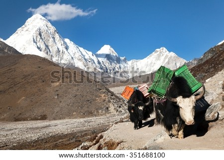 Yaks on the way to Everest base camp and mount Pumo Ri, Khumbu valley, Sagarmatha national park, Nepal - stock photo
