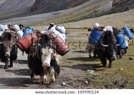 Yaks Yaks help tibetan carrying stuff on the way to Mount Kailas. - stock photo