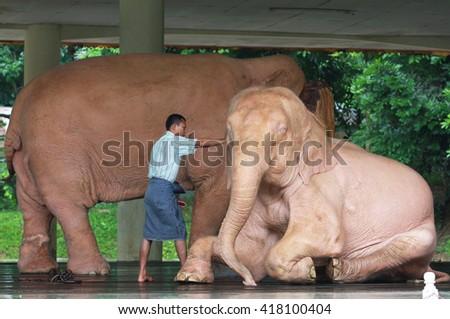 YANGON, MYANMAR - JULY 2 : White elephant bathing in Myanmar Yangon, Myanmar (Burma) Animals Asia. on July 2, 2014 in Yangon, Burmese. - stock photo