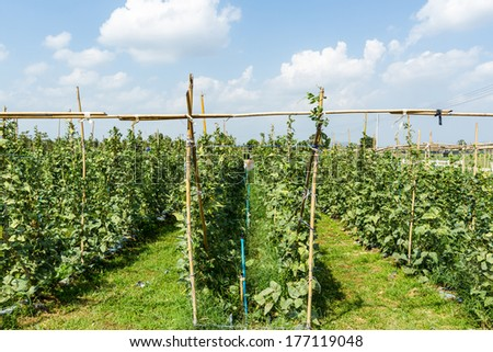 Yardlong bean farm on ground in vegetable garden. - stock photo