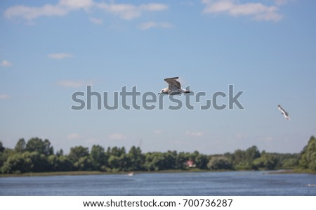 Yaroslavl, Seagull in flight, summer, nature, side view, shooting from the ship, August 12, 2017